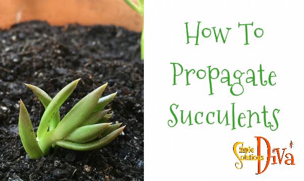 ssd-propagate-succulents