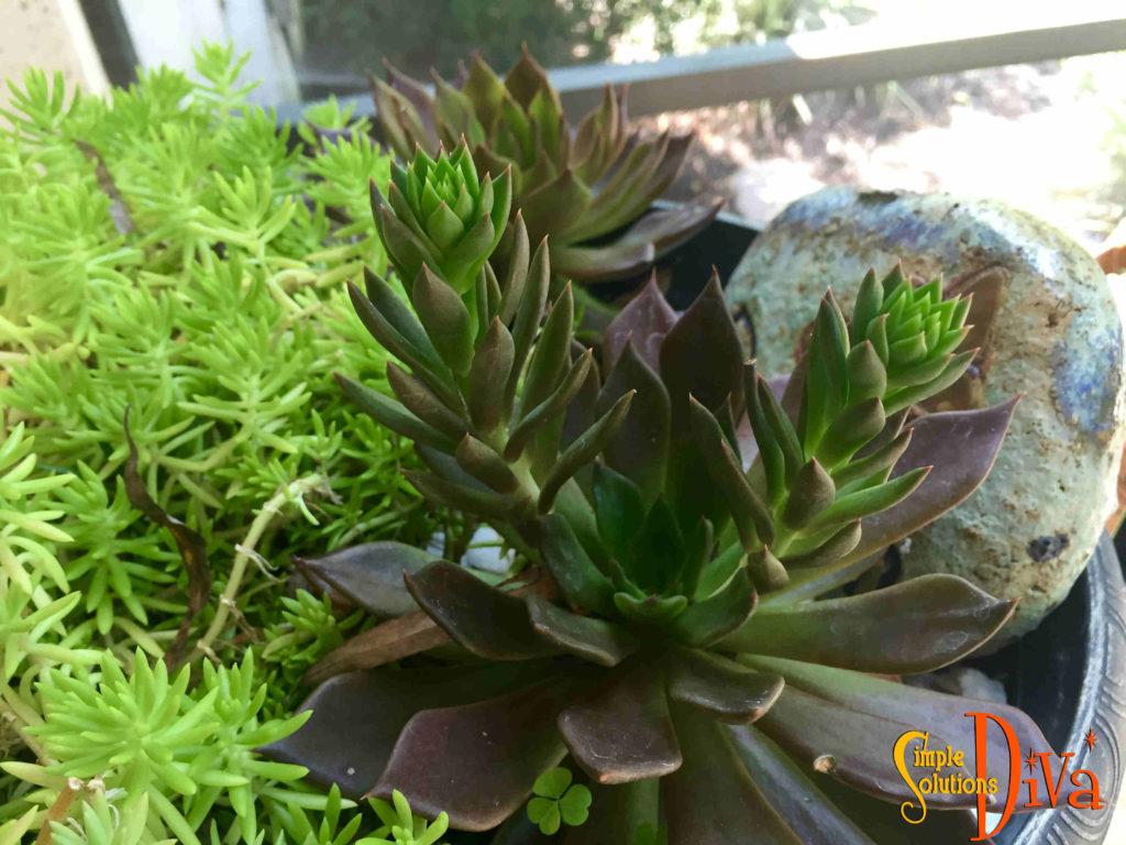 ssd-propagate-succulents2