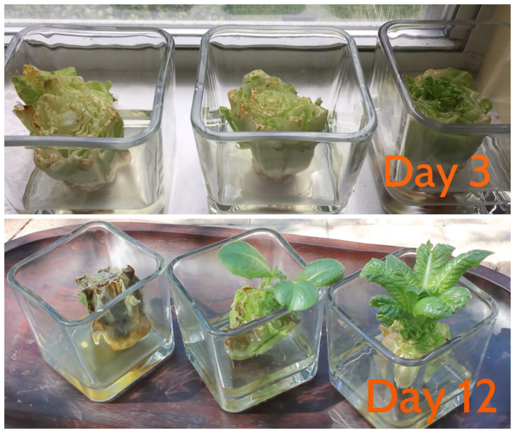 lettuce-collage
